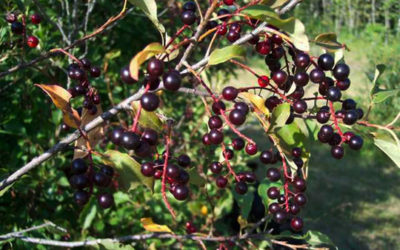Chokecherry Syrup and Antiques